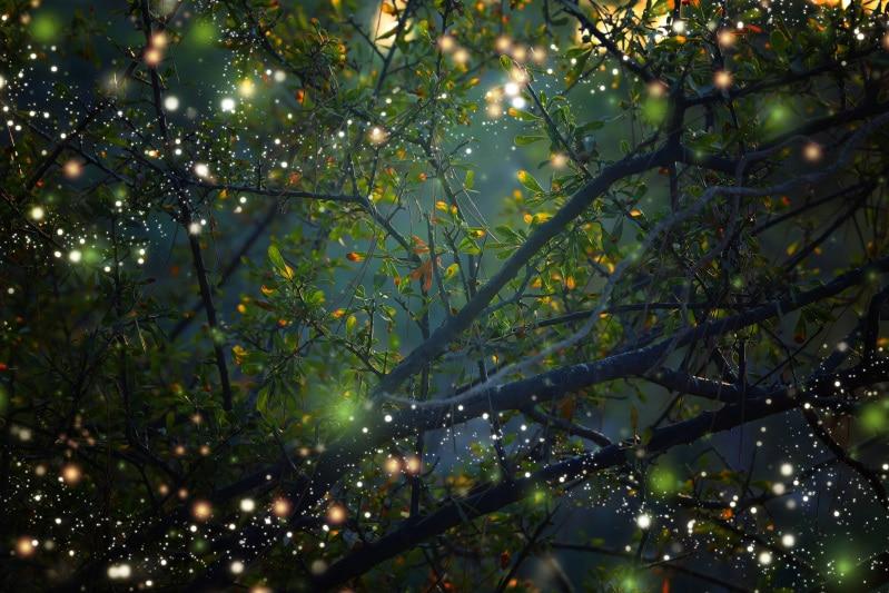 何千、何万匹?暗闇が金色に染まる幻想的なホタルツリー